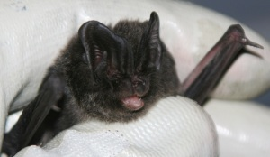 Barbastelle bat Chris Damant