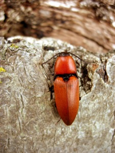 The Rustry Red click beetle RDB1