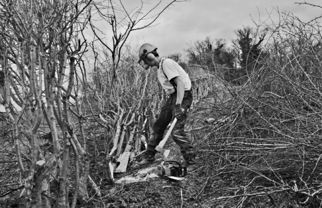 Boz hedge laying