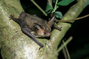 Long eared bat Chris Damant