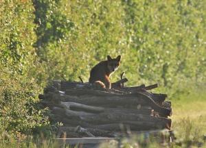 Cobbs Wood fox