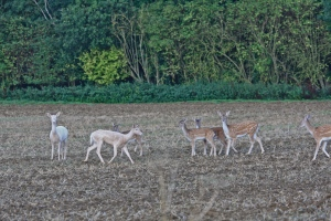 A small herd of Fallow deer north of the Belts