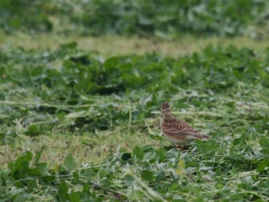 Skylark on the clover leys