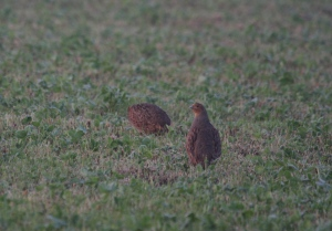 Grey partridge near the Mare's way on the clover leys