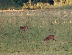 Muntjac deer at Cobbs wood