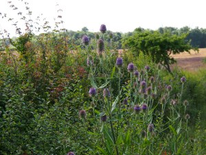 Field Margin Teazle
