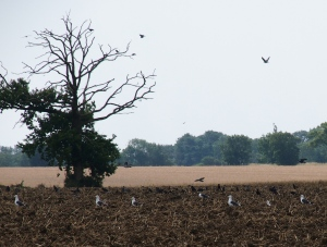 Gulls on the 'plough'
