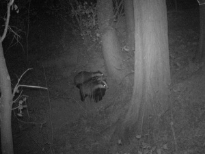 Badgers at Cobbs Wood Sett