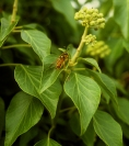 The Golden hoverfly on Ivy
