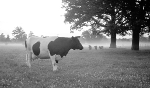 cow wimpole
