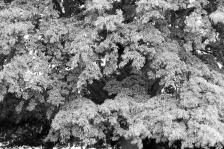 folly oak 1
