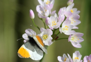 Male Orange Tip on Ladies Smock