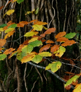 Beech in autumn colours