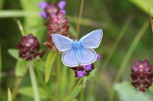 Common Blue on Bugle