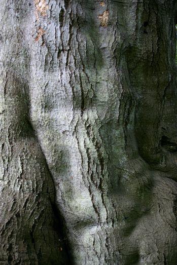 Beech bark