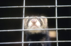 Domesticated polecat, note the much whiter face