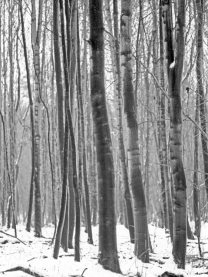 wimpole trees 1