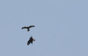 Marsh harriers displaying