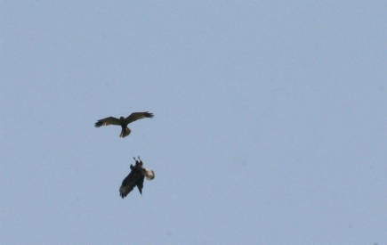 Marsh harriers displaying