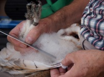 Barn owl chick