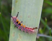 Vapouer moth catapillar