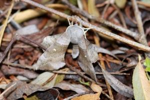 Popular hawk  moth