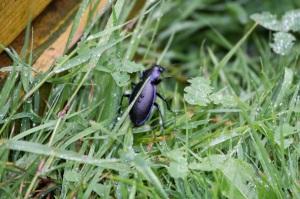 Violet groud bettle