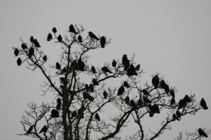 Crows or maybe rooks