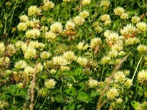 Sulphur clover