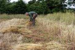 Sheaving the revet wheat