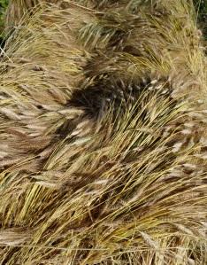 Revet wheat stooked