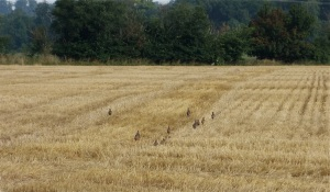 Harvested barley & french partridge