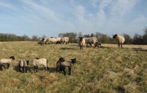 Norfolk horn sheep
