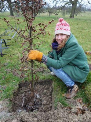 Jess planting her hornbeam
