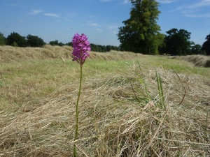 Mowed, tedded & bailed but the little orchid survived