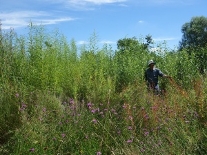 Inspecting the willow coppice
