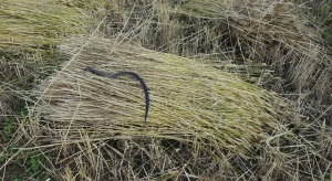 The sickle and sheaf
