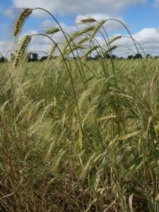 Revet wheat not quite ready