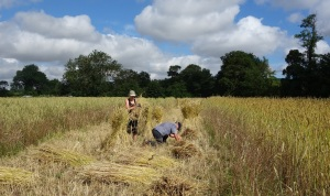 First to be harvested, the Childenham white wheat