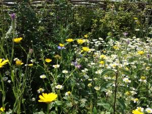 Arable flowers alongside our laid hedge