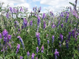Tufted vetch on one of the beetle banks