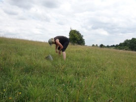 Collecting cowslip seed for the south avenue