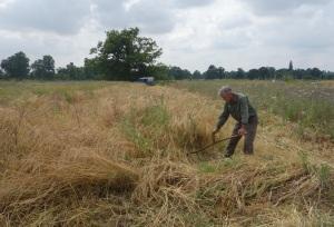 Mowing the Nottingham long eared barley