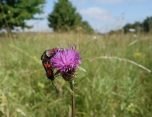 Six spot burnet moths on knapweed