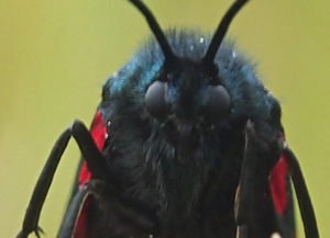 Full face of the Devil, actually a six spot burnet moth