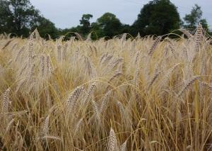 Revet wheat ready to reap.