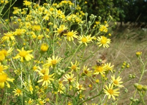 Pulled the rest of the ragwort in the south avenue