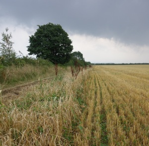 Some barley left for the corn buntings