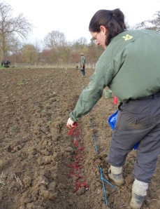 Sarah sowing hawthorn seed