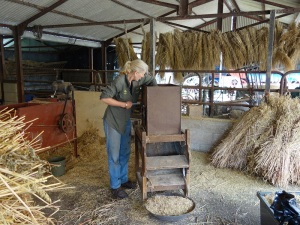 Winnowing the black  oats